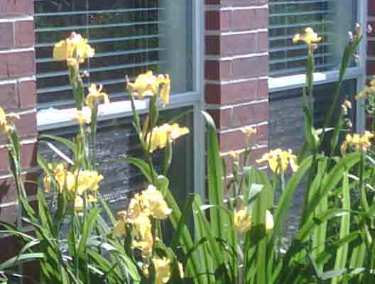 Yellow_Irises_1.jpg